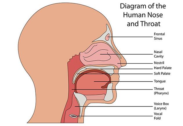 Строение горла