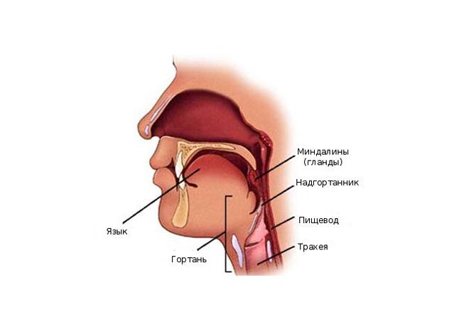 Строение горла человека