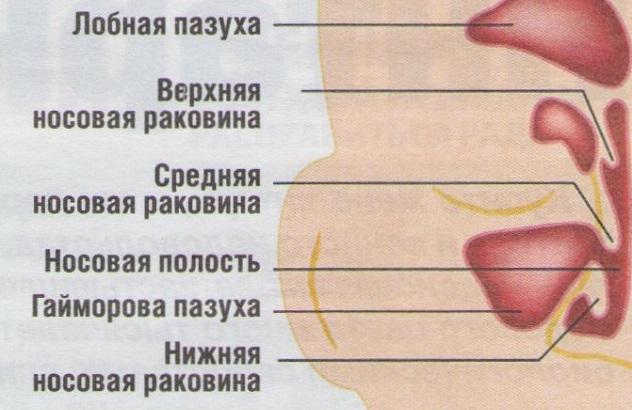 Строение носа человека