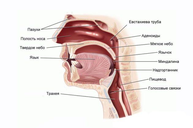 Схема строения носоглотки
