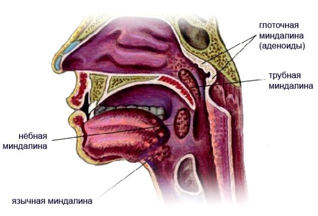 миндалины в горле фото